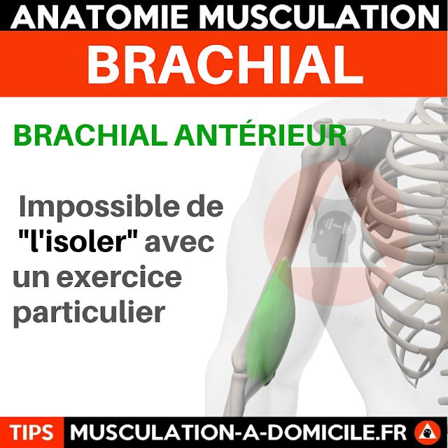 musculation à domicile anatomie des muscles biceps brachial