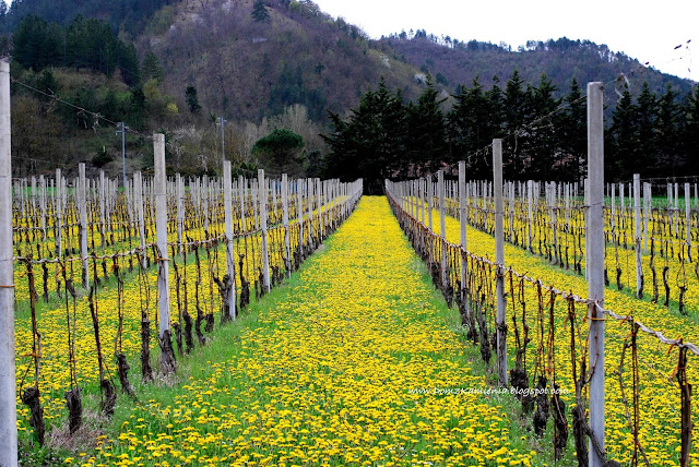 Wiosna w winnicy