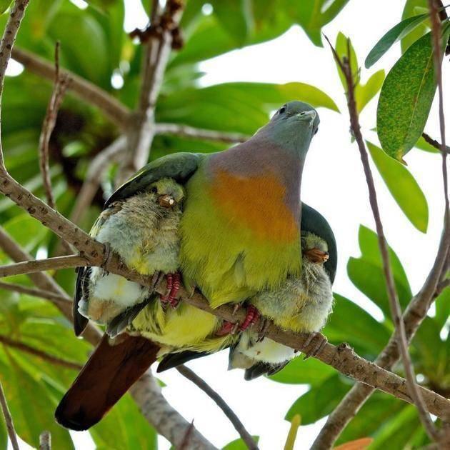 Motley dove guards its children