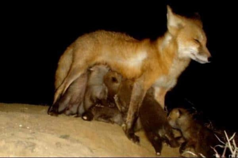 Hungry-Fox-Kits