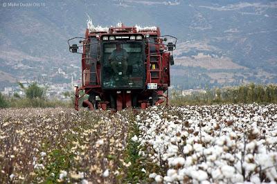 Baumwollernte Türkische Ägäis