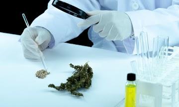 Cannabis pode ajudar a tratar a Covid-19, revela estudo inédito