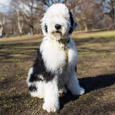 Giant Sheepadoodle Shedding