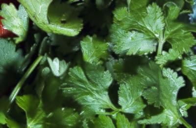 menanam seledri di halaman rumah