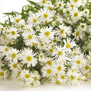 Gambar Bunga Aster yang Cantik 7