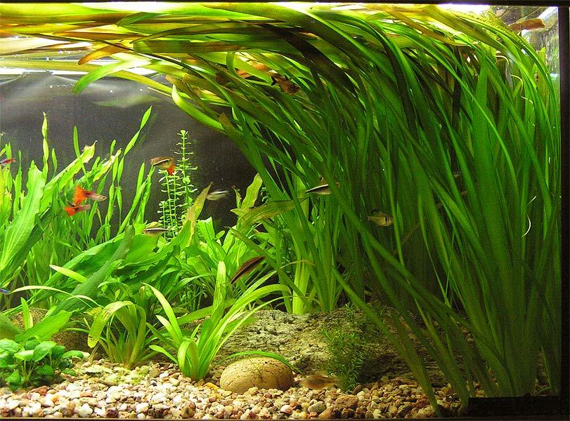 AquaBie: Plant : Vallisneria Tortifolia (Twisted vallisneria)