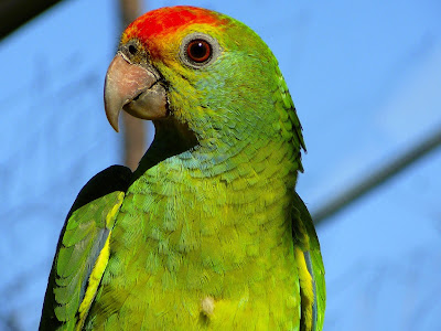 8 Top Yellow Parrots to Keep as Pets Amazon parrot