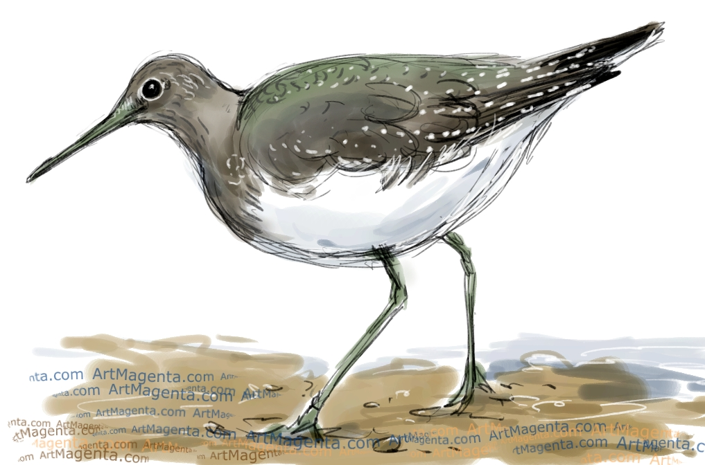 Green Sandpiper sketch painting. Bird art drawing by illustrator Artmagenta
