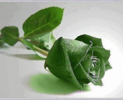 Jual Benih Bibit Bunga Mawar Hijau Budidaya Tanaman