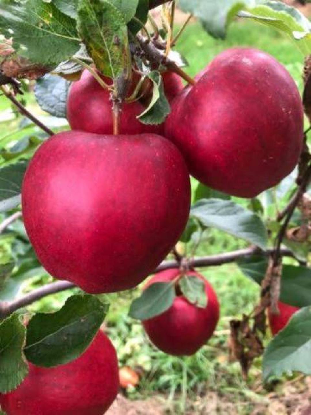 Obral! Bibit tanan pohon buah APEL RED CAROLINE aple merah unggul manis cepat berbuah okulasi cangkok Kota Bogor #bibit buah