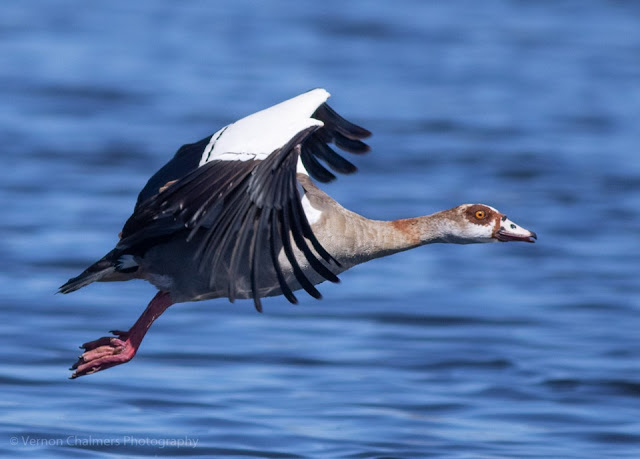 Canon EOS 7D Mark II Autofocus Consistency Testing : Egyptian Goose in Flight 08