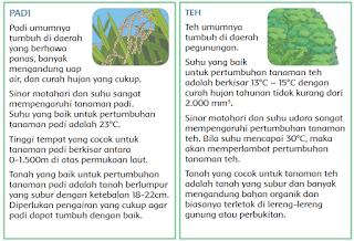 teks tentang tanaman padi dan teh www.simplenews.me