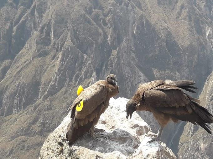 Wayra el cóndor liberado hace un año en Arequipa, da resultados alentadores