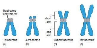 Kromosom Berdasarkan Letak Sentromernya