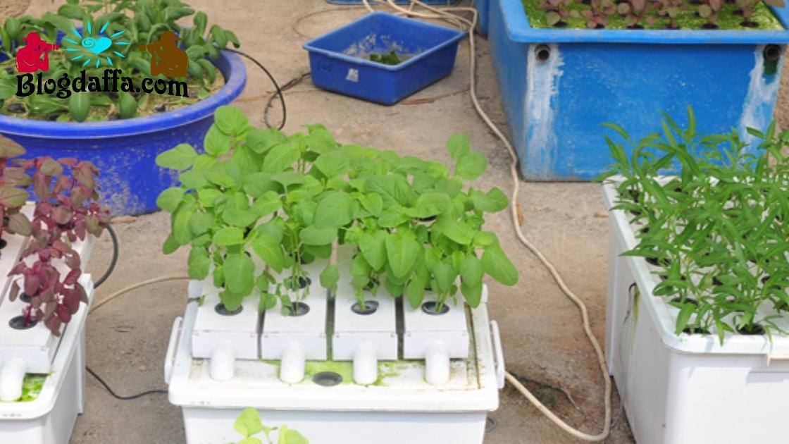 Cara menanam hidroponik rakit apung