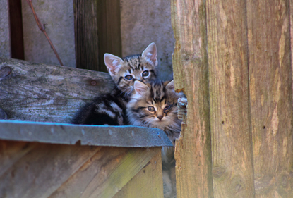 two tabby kittens sitting on fence