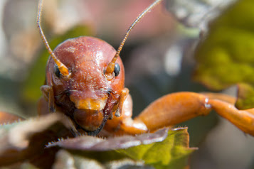 A closeup of a Jerusalem Cricket face. Does it look like a baby's face to you?