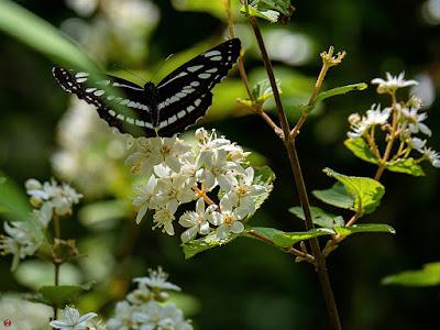 Utsugi (Deutzia crenata) flowers and Komisuji (Neptis sappho) butterfly: Engaku-ji