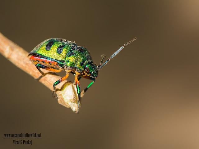 Scutellaridae