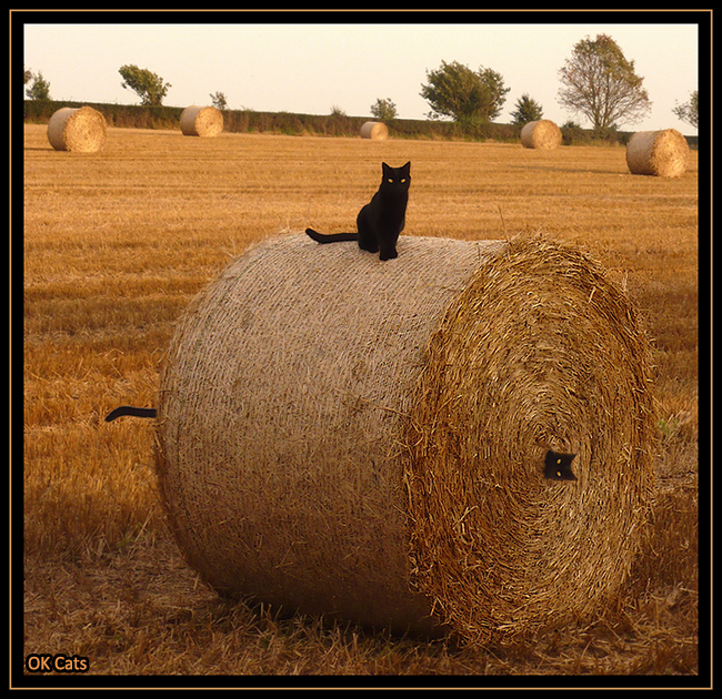 Photoshopped Cat picture • Funny black cat stuck in a  big haystack. HALP Bro! [ok-cats.com]