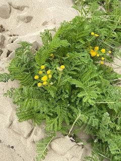 Asteraceae - Tanacetum camphoratum - Dune tansy plant