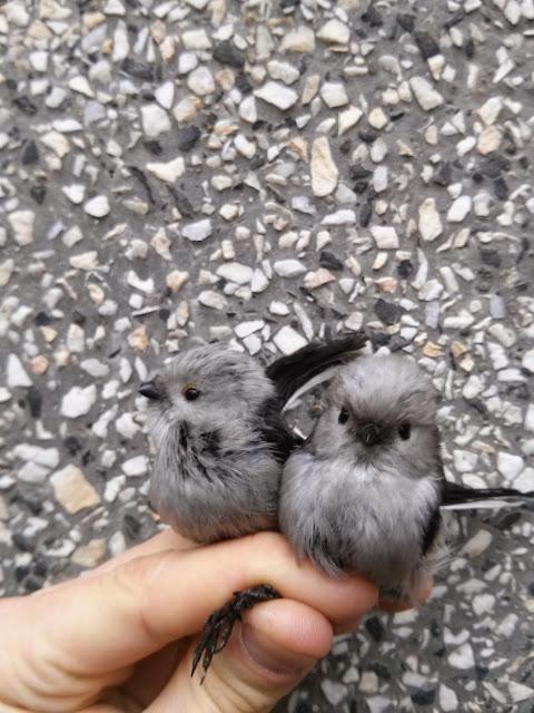 Fot. Ornitolog Szczecin, Raniuszek