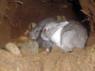 kelinci menggali lubang