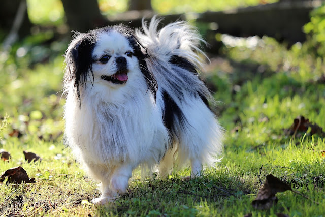 Toy Dog Breeds List, Toy Dog Representative Species