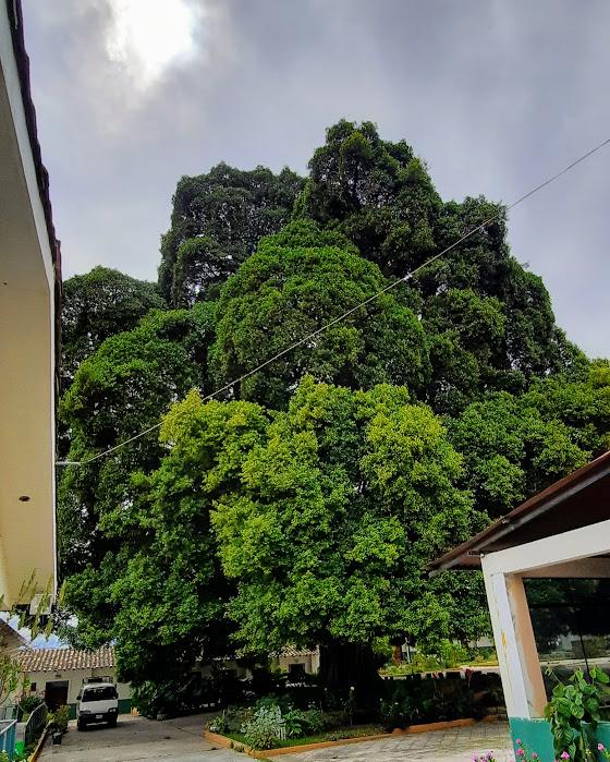 Reconocen al Ficus de Malcas como el  Arbol Patrimonial  de Condebamba