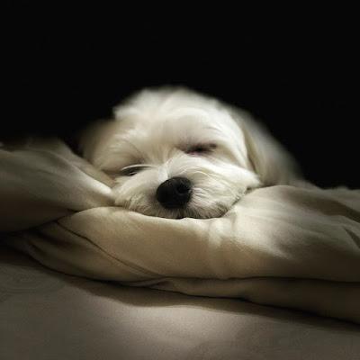 Bichon maltes durmiendo
