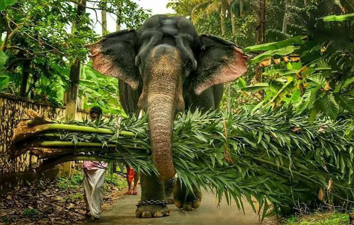 Kerala Elephant Wallpaper Hd Kerala Elephant ...