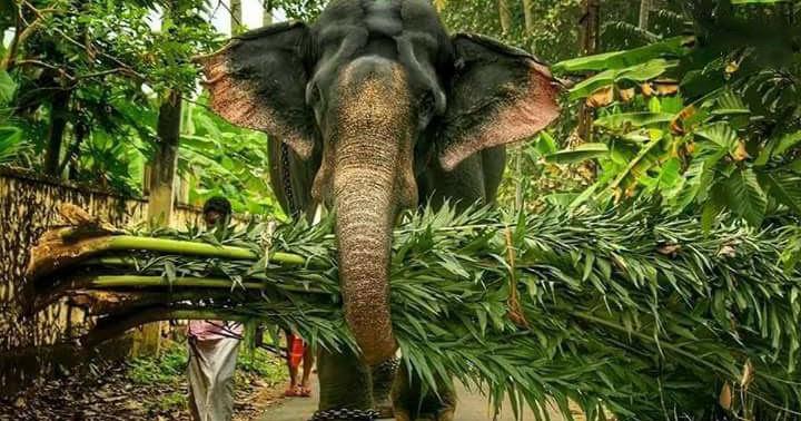 Pambadi Rajan -Kerala Elephant - Gajarajan Pambadi Rajan