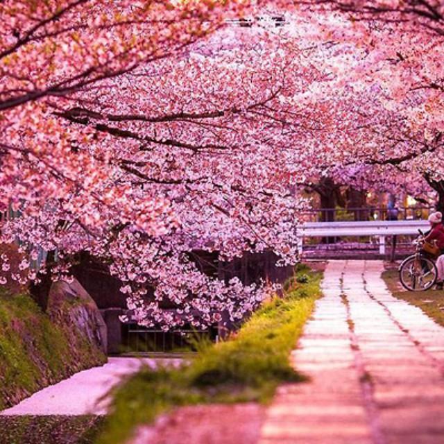 foto bunga sakura di jepang yang indah