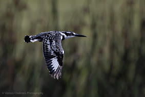 Pied Kingfisher in Flight Canon EOS R6 / RF 800mm f/11 IS STM Lens : ISO 640 / 1/2500s
