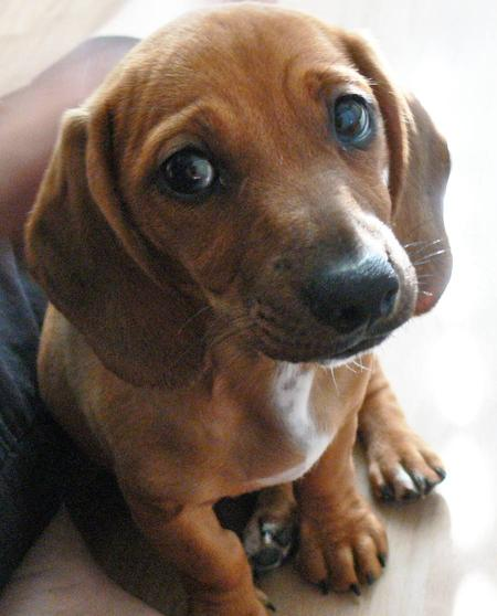 Picture Of A Dachshund: Beagle Dachshund Mix Puppies