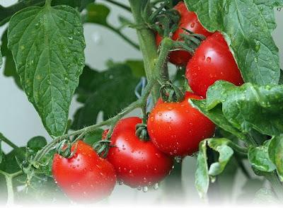 tanam tomat di kebun dan pekarangan rumah
