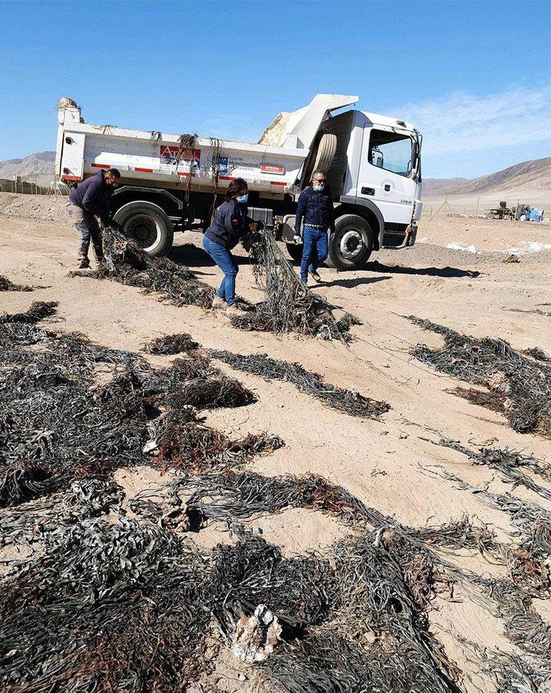 76 toneladas de algas fueron dejadas en tres playas de Caldera