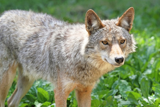 20 Facts You Did Not Know About Coyotes!
