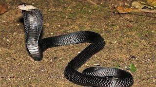 berburu ular