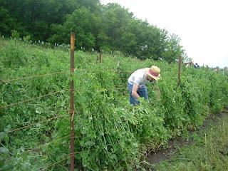 Plantación de guisantes