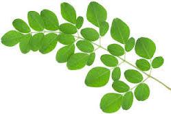 Manfaat daun kelor dan cara pengolahannya untuk obat