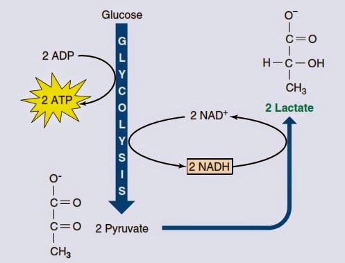 Respirasi anaerob (fermentasi asam laktat)