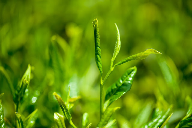 The benefit and side effects of Green Tea you should know.