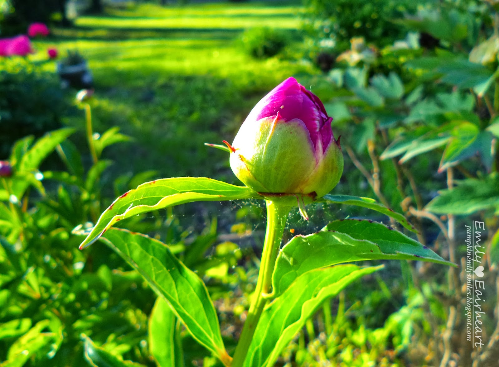An unopened pink Peony