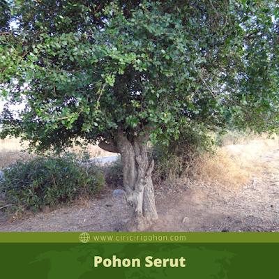 Ciri Ciri Pohon Serut