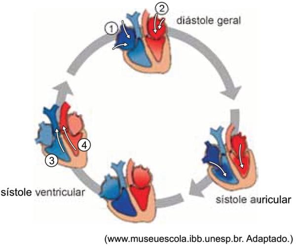 O esquema ilustra as fases de um ciclo cardíaco humano