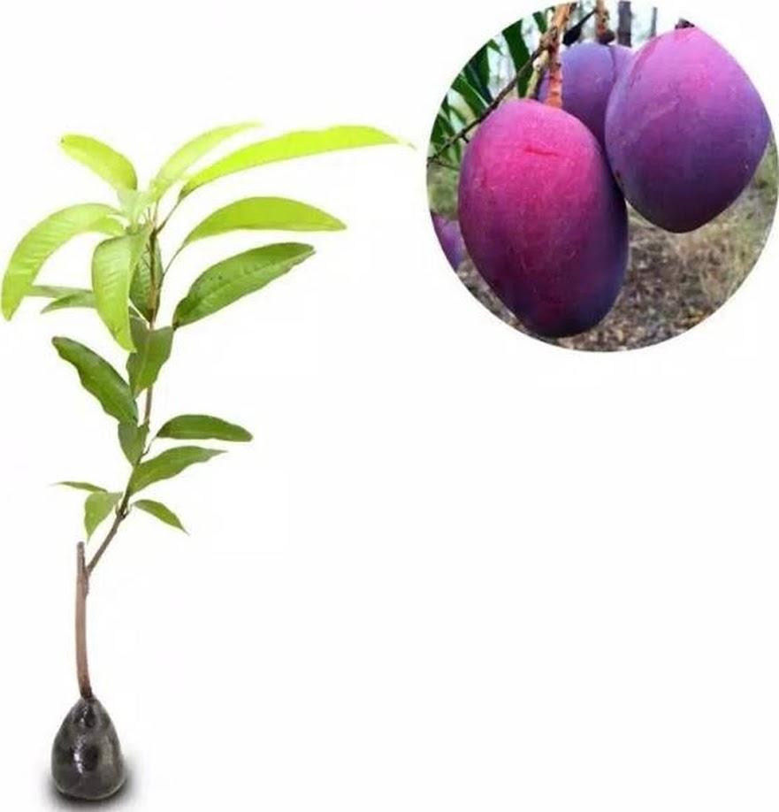 Bibit mangga irwin ungu okulasi Sumatra Selatan