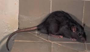 mejor manera de eliminar a las ratas