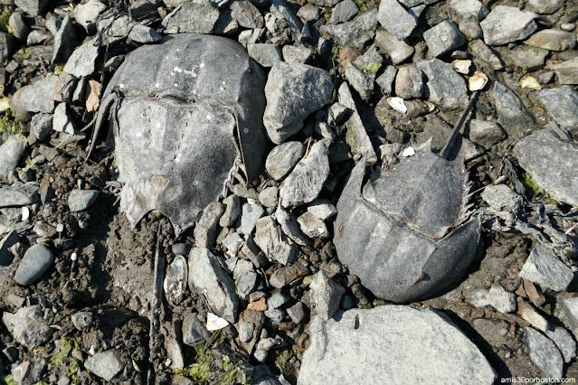 Cangrejos Herradura del Atlántico en New Hampshire
