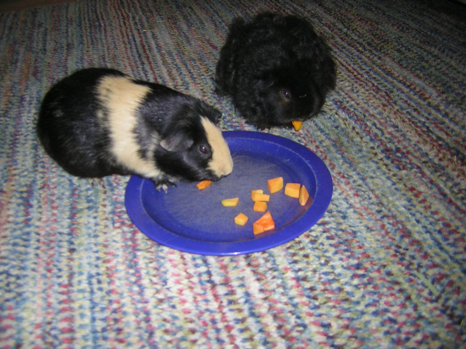 Guinea Pig Food Bowl